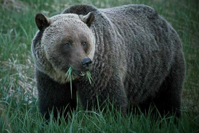 #ExploreAlberta: Grizzly bears in Jasper