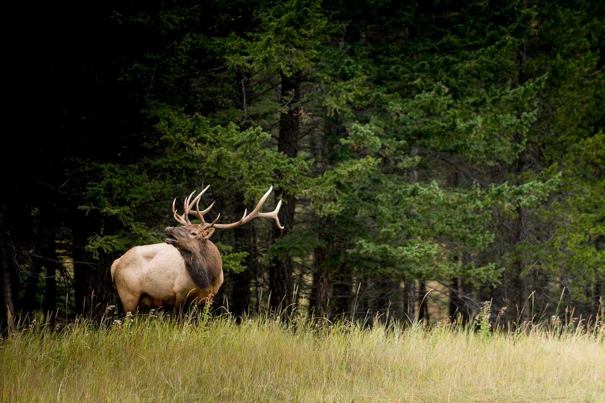 Bull Elk in Banff, Alberta, Canada
