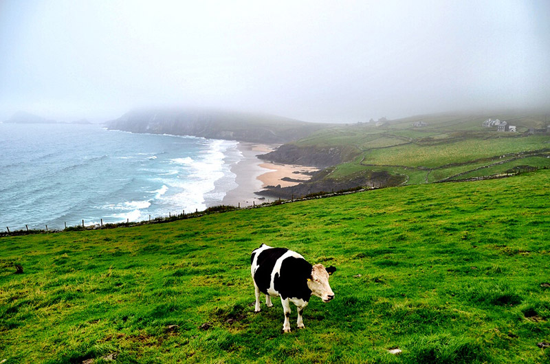 I captured this lonely cow on a very moody day while driving the Wild Atlantic Way along Ireland's Dingle Peninsula. I was attracted by the contrast of colors and landscapes more than anything else.