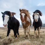 Three Icelandic horses pose for the camera