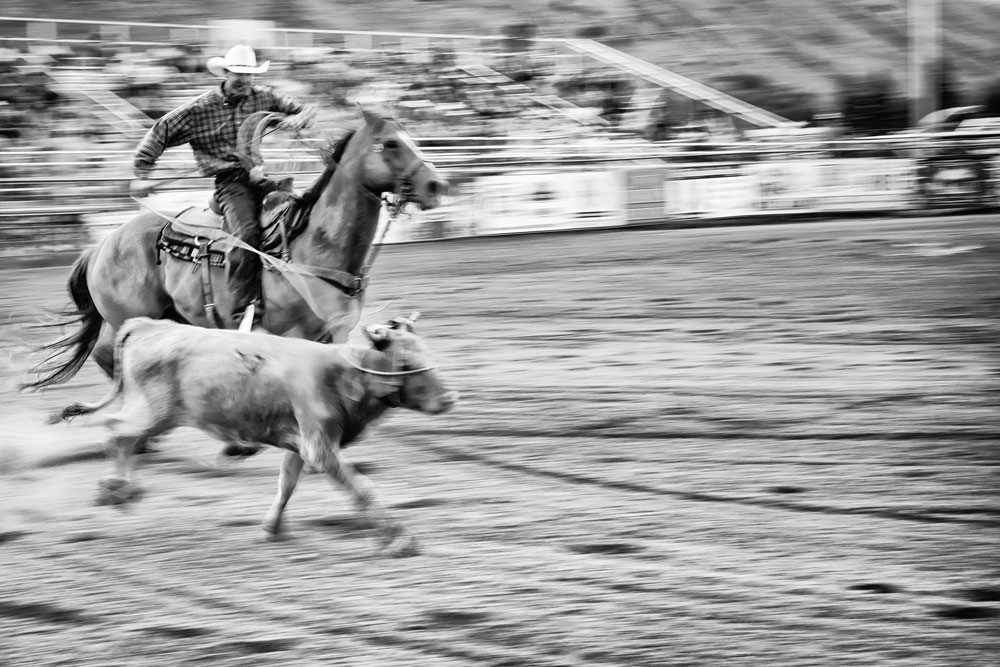 A steer roper nabs his bull at the Jackson, Wyoming, rodeo