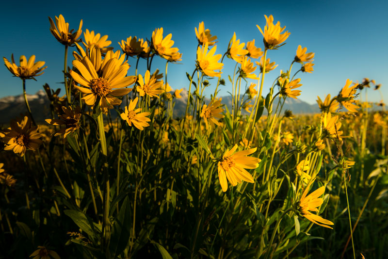 A tight crop of wild flowers in Grand Teton National Park