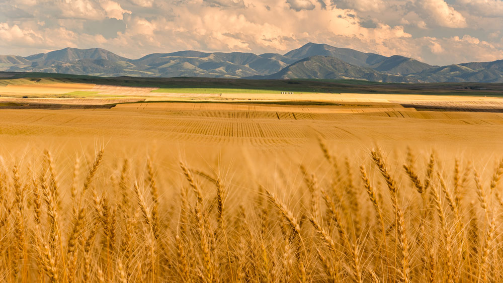 Visit Montana desktop wallpaper of a wheat field