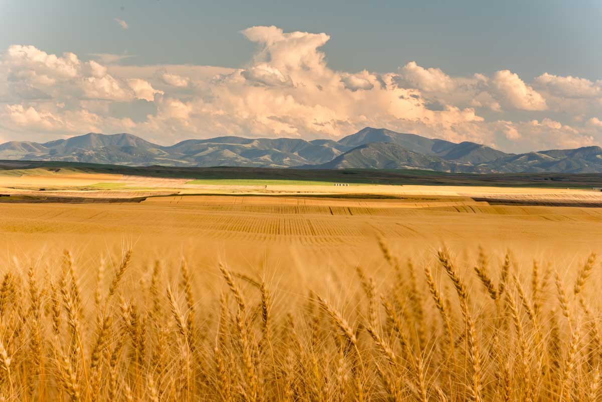 Endless wheat in Montana