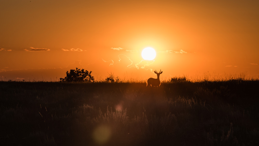 A mule deer stands in front of a stunning Saskatchewan Sunset in Grasslands National Park