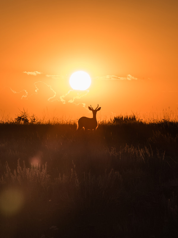 A stunning sunset is made better by a lone mule deer wandering through a meadow.