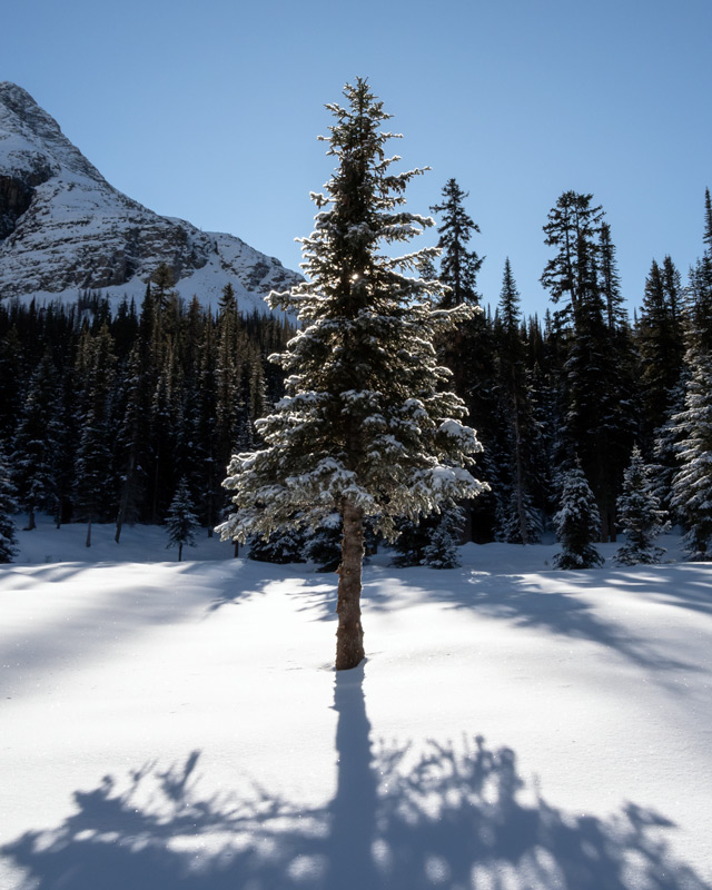A backlit spruce tree, near Lake O'Hara, looks like the perfect christmas tree in the Canadian Rockies.